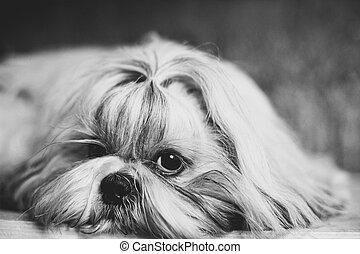 Shih tzu dog black and white portrait.
