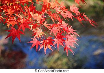 Japanese maple tree leaves momiji background