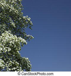 Dogwood tree in bloom against blue sky