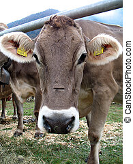 muzzle cow - Calf is looking into the camera. Cattle fair in...