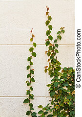 Climbing ivy on the white plaster walls. - Climbing ivy on...
