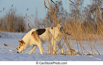 Dog on the snow - Husky picked up a trail and sniffs up a...