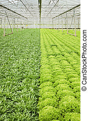 Growing endive and salad plants in glasshouse - Greenhouse...
