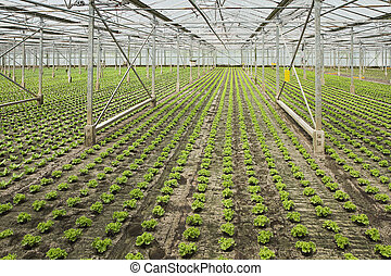 Planting new young salad plants in glasshouse - Overview new...
