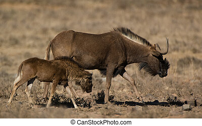 Black wildebeest (Connochaetes gnou) female with calf,...