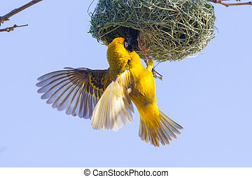 Southern Yellow Masked Weaver during the breeding season in...