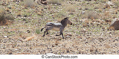 Frightened zebra running and leaving a dust trail, Namibia