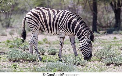 Burchells zebra (Equus Burchelli), Etosha National Park,...