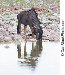 Wildebeest drinking at a waterhole, Etosha National Park,...