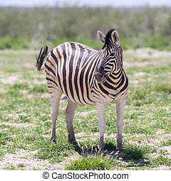 Burchells zebra Equus Burchelli, Etosha National Park,...