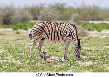 Burchells zebra Equus Burchelli with young, Etosha National...