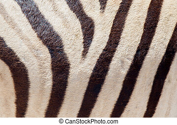 Burchells zebra Equus Burchelli, close-up, Etosha National...