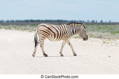 Burchells zebra Equus Burchelli crossing gravel road, Etosha...