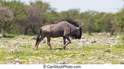 Wildebeest walking the plains of Etosha National Park,...