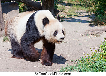 huge panda a bear