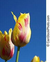 Tulips in the field - a closeup view of a yellow and purple...