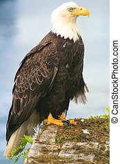 Bald Eagle - Majestic bald eagle