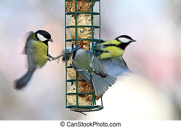 big starvation at bird feeder, great tits fight with blue...