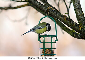tit looking at fat feeder - great tit ( parus major )...