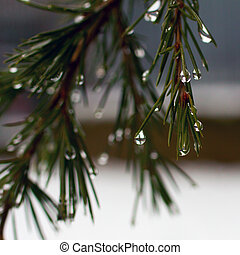 Pine needles with drops in close up