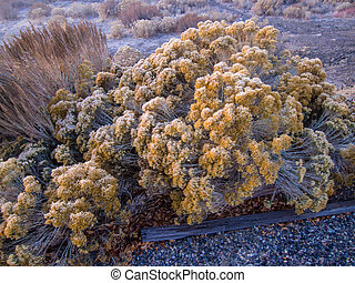 Frosted sagebrush - Sagebrush covered with frost on cold...