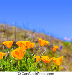 Poppies poppy flowers in orange at California spring fields...