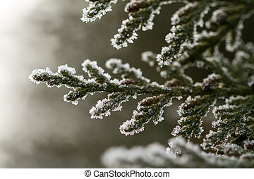 hoarfrost on thuja twig - white hoarfrost crystal on green...