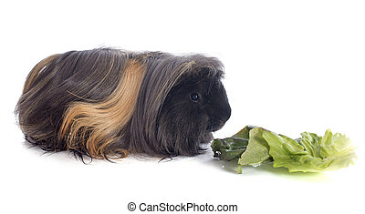 eating Peruvian Guinea Pig in front of white background