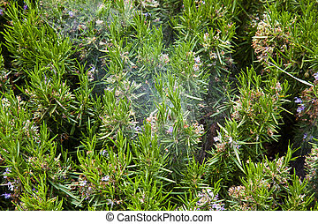 Spike lavender - Brushwood of lavender with a very strong...