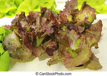 農場, 蔬菜, 珊瑚, 紅色, 營養液培養