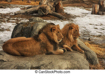 Lions at Zoo Sitting on a Rock - Two lions sitting on a rock...