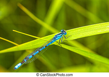 Damsel Fly Resting on Grass - Macro of a blue damsel fly...