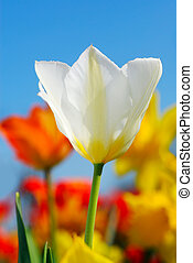 Colorful spring - White tulip with colorful spring flowers...