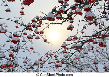 ash-berry branches under snow at winter - ash-berry branches...