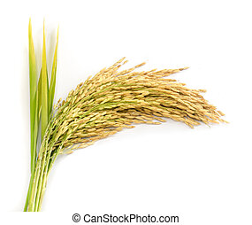 paddy rice seed - paddy rice seed on a white background