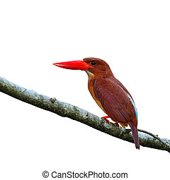 female Silver-breasted Broadbill - Colorful red Kingfisher,...