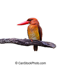 male Ruddy Kingfisher - Colorful red Kingfisher, male Ruddy...