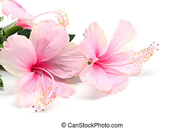 Hibiscus - Blossum of pink Hibiscus flower isolated on a...