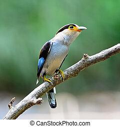 female Silver-breasted Broadbill - Colorful Broadbill bird,...