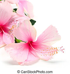 Hibiscus - Colorful pink Hibiscus flower isolated on a white...