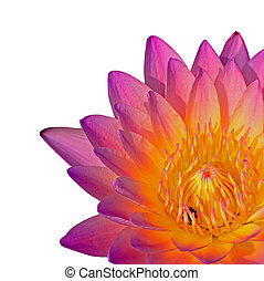 waterlily - Closeup of pink waterlily. isolated on a white...