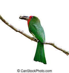 female Red-bearded Bee-eater