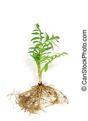 Seedling of valerian (Valeriana officinalis) isolated in...