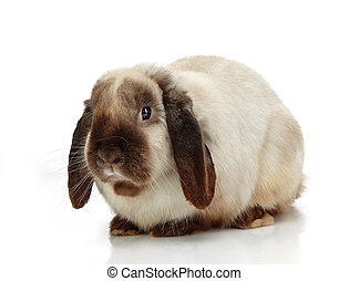 rabbit - portrait of rabbit on a white background