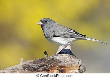 Junco On A Stump In Spring
