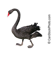Black Swan Isolated - Standing black swan isolated over...