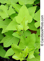 sweet potato leaves in garden
