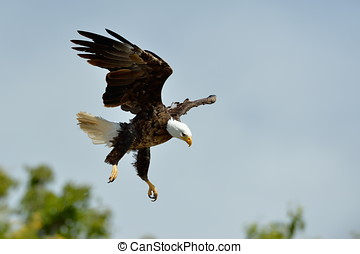 The Bald Eagle Haliaeetus leucocephalus flying outdoor