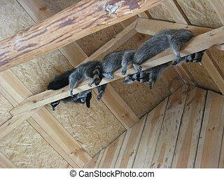 brood of grey raccoons are hanging up in the zoo - brood of...