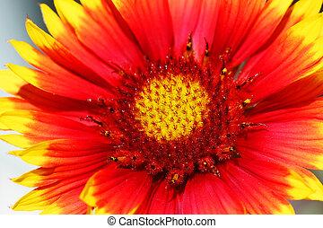 flor,  gazenia